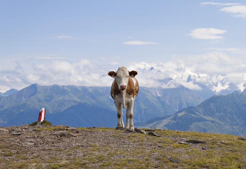 Pinzgauer Kuh vor Alpenkulisse am Roehrer Toerl, Pinzgauer Spaziergang